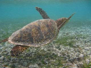Die Echte Karettschildkröte - eine Meeresschildkröte