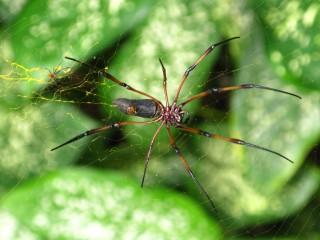 Ein Spinnenpärchen - gesichtet auf La Digue